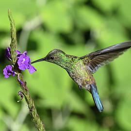 Hummingbird by Paula Goodman
