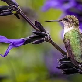 Hummingbird Portrait by Susan Rydberg