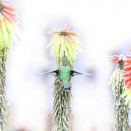 Hummingbird Still On Torch Lilies by Michele Hancock