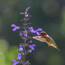 Hummingbird Summer Obsession by Mary Lynn Giacomini