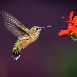 Hummingbird with Red Flower by Judi Dressler
