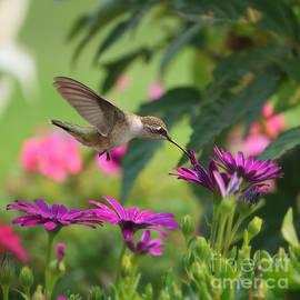 Hummingbird World with Purple Daisies by Carol Groenen