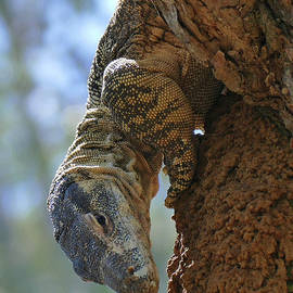 Hungry Lace Monitor looking for a snack by Maryse Jansen