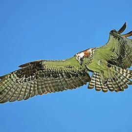 Hunting Osprey by Stuart Harrison