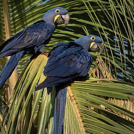 Hyacinth Macaws 2 by Linda Villers