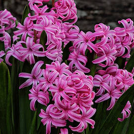 Hyacinths In Bloom by Denise Harty