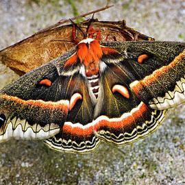Hyalophora Cecropia Moth by Christina Rollo