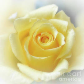 Hybrid Tea Rose - Yellow by Yvonne Johnstone