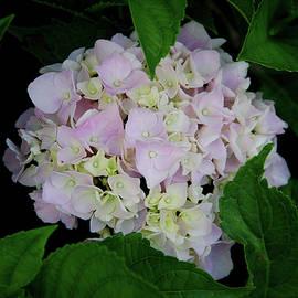 Hydrangea Bloom IV by Amy Scheer