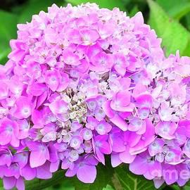 Hydrangea Flowers, Minnesota by Ann Brown