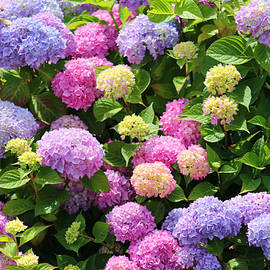 Hydrangea Happiness by Living Color Photography Lorraine Lynch