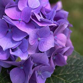 Hydrangea Mauves And Pinks by Joy Watson