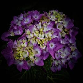 Hydrangeas Opening by Denise Harty