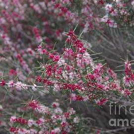 Hypocalymma robustum...Swan River Myrtle by Lesley Evered