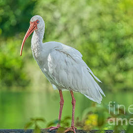 Ibis on the Rails by Judy Kay