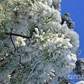 Icy snow coat on pine and blue sky by Tibor Tivadar Kui