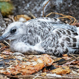 Immature Galapagos Swallow Tailed Gull by Joan Carroll