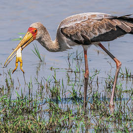 Immature Yellow-billed Stork in Zimbabwe by Betty Eich