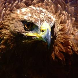 Impressive Golden Eagle  by Neil R Finlay