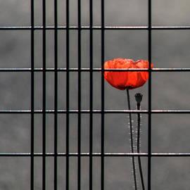 Square - Imprisoned Poppy  by Stuart Allen