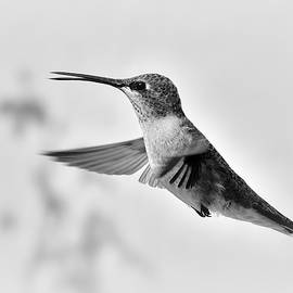 In Flight Black and White by Michael Morse