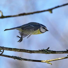 In the air today. Eurasian blue tit by Jouko Lehto