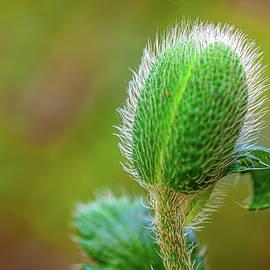 Incipient Flower ... by Judy Foote-Belleci
