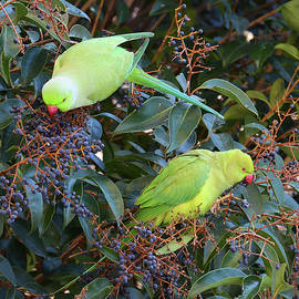 Indian Parrots In Tropical Forest by Nicola Fusco