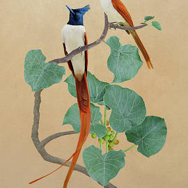 Indian Paradise Flycatchers by Spadecaller