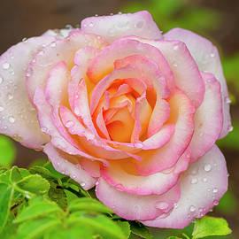 Innocent Pink Rose by Morris Finkelstein