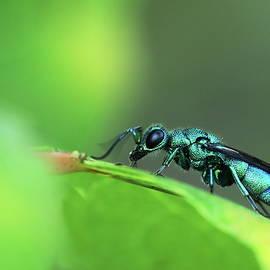 Cuckoo Wasp in Minnesota by Alex Nikitsin