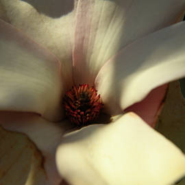 Inside A Magnolia Blossom by Robert Tubesing