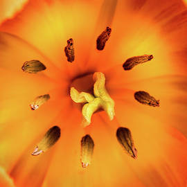 Inside Orange Tulip by Don Johnson