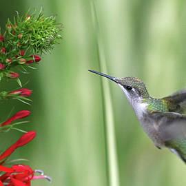 Inviting Cardinal Flower by Debbie Oppermann