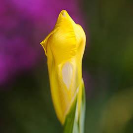 Iris Flower Bud Yellow by Joy Watson