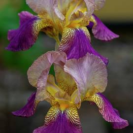 Iris in Purple 5-2 by Bruce Frye