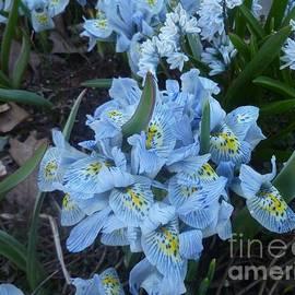 Iris Minuet Spring Quartet by Lingfai Leung