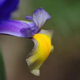 Iris Petals by Joy Watson