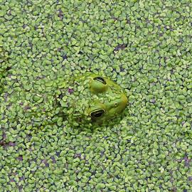Its Easy Being Green - American Bullfrog by Matt Richardson