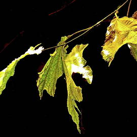 Five Sunlit Leaves - Black Background by Bonnie See