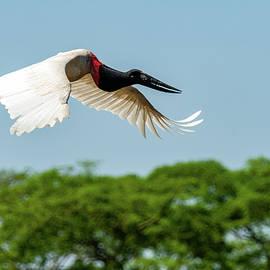Jabiru in Flight by Robert Goodell