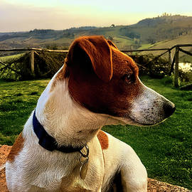Jack Russell Terrier In Italy by Rachel League