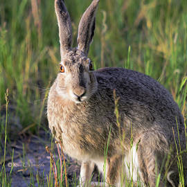 Jackrabbit in Evening Light by Kae Cheatham