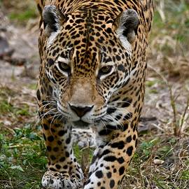 Jaguar on the Prowl by Richard Bryce and Family