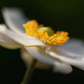 Japanese Anemone at First Light by Teresa Wilson