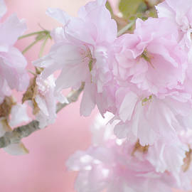 Japanese Cherry Blossoms by Laurie Minor