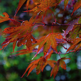 Japanese Maple In Autumn by Denise Harty