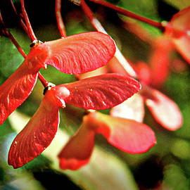Japanese Red Maple Tree Seed Pods by Susan Maxwell Schmidt