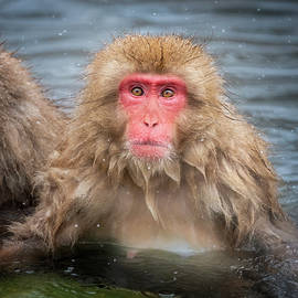 Japanese Snow Monkey IV by Joan Carroll