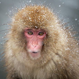 Japanese Snow Monkey by Joan Carroll